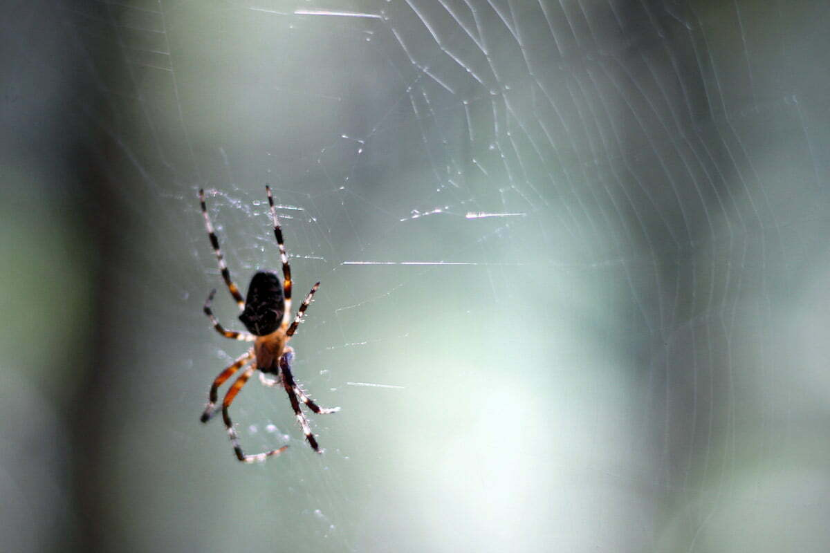 A brown, orange and white spider hangs out in the center of his web in Maine.