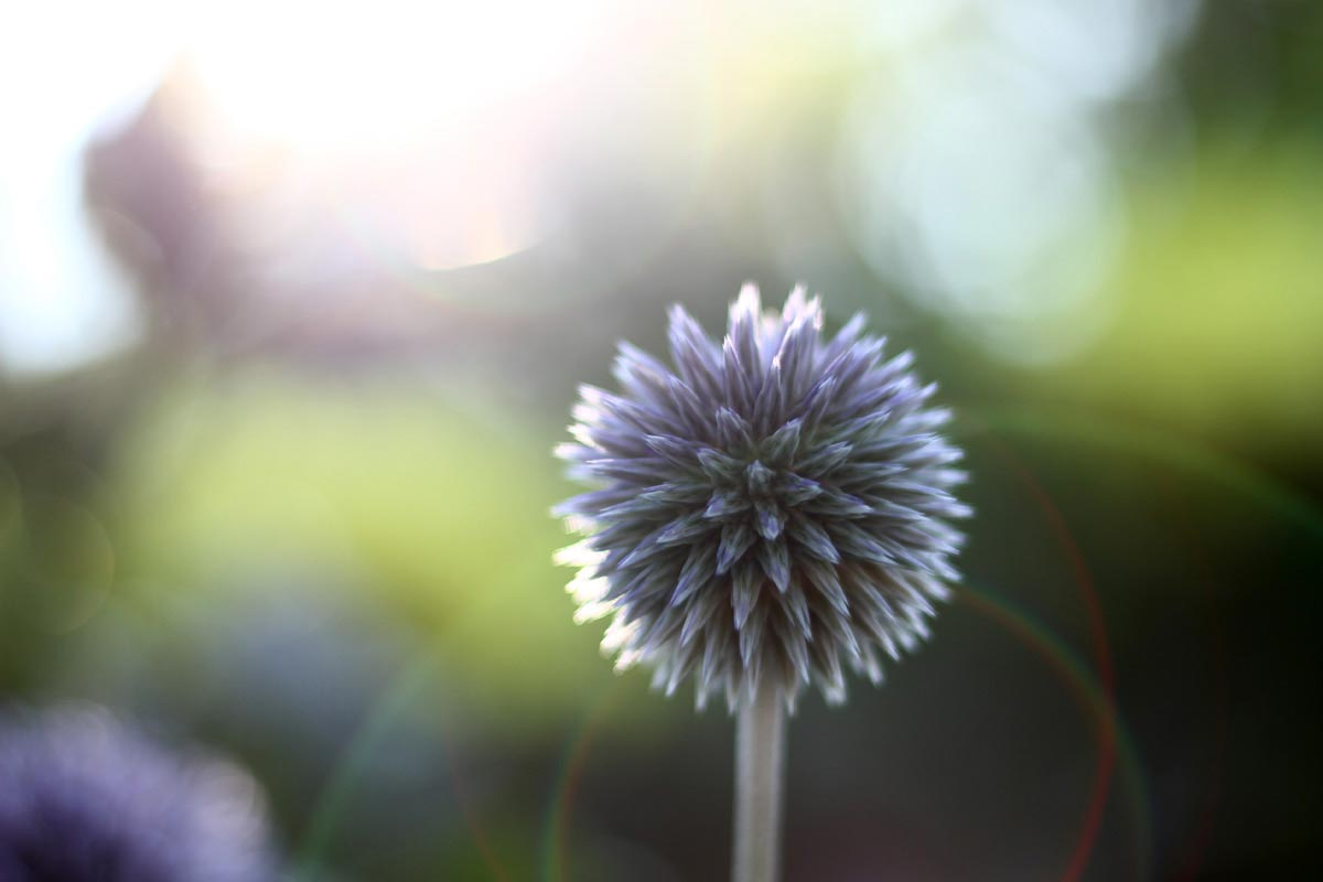 A blue and purple globe thistle in a garden at sunset.