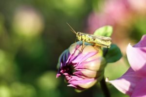 A green grasshopper sits on a purple flower ready to jump.