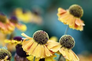 A group of yellow and black flowers known as Helenium 'Mardi Gras' Sneezeweed in a Maine garden.