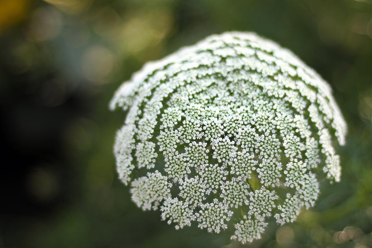A close up photograph of white flowers on an apiaceae plant, likely a wild carrot or Queen Anne's Lace plant.