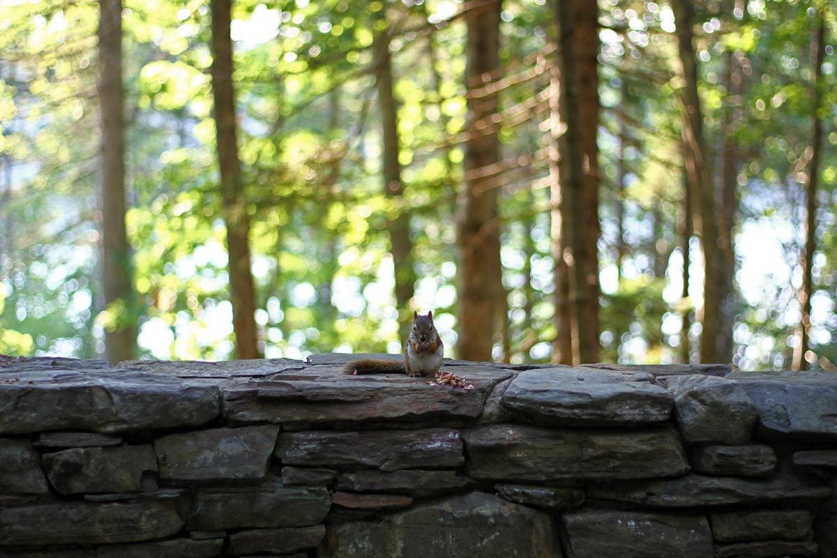An American Red Squirrel looking directly at the camera while shelling a nut on a stone ridge in the Maine forest.