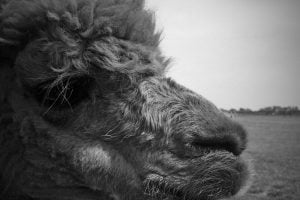 A black and white side profile photograph of an alpaca.