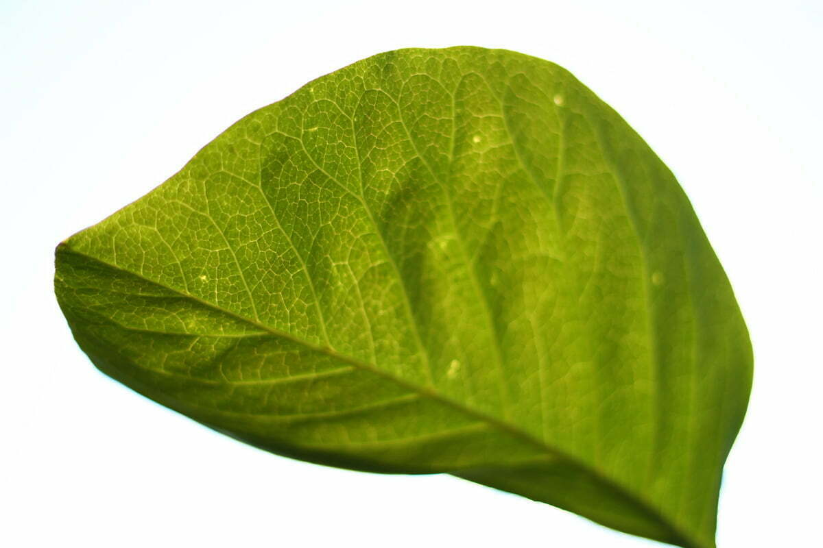 A photograph looking up at a leaf to see the individual veins with a white background.
