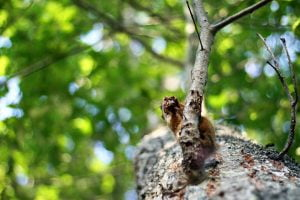 A photograph look up at an American red squirrel sitting on a branch nibbling on a nut.