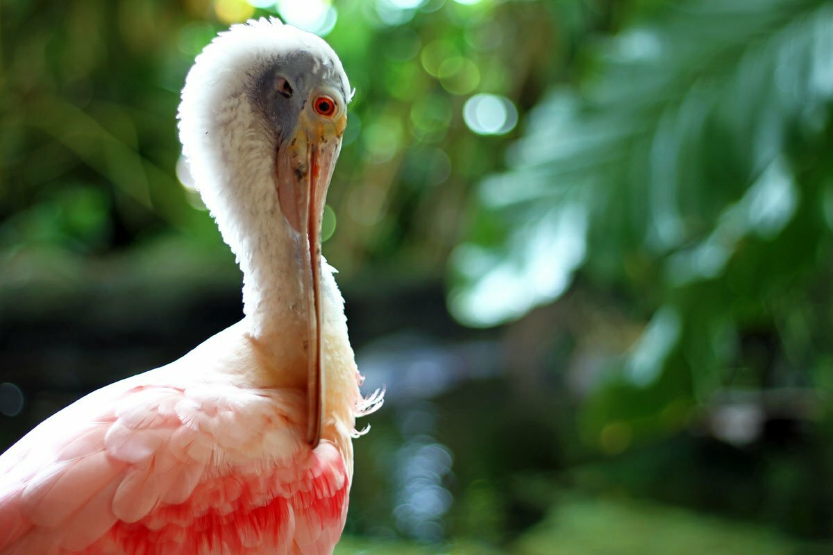 A pink and white Roseate Spoonbill picks its feathers with its large beak.