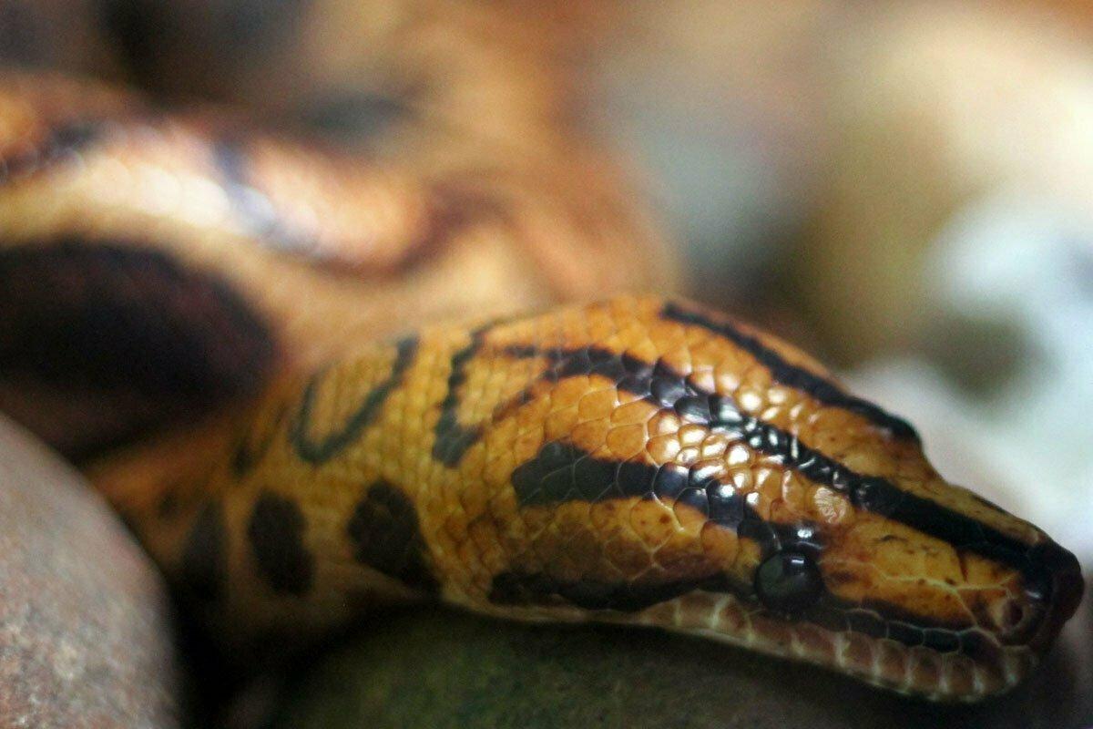 A reddish brown Brazilian Raindow Boa snake sits on a rock.