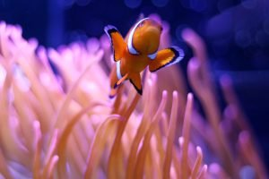An orange, white and black clown fish swims among some neon sea anemones.