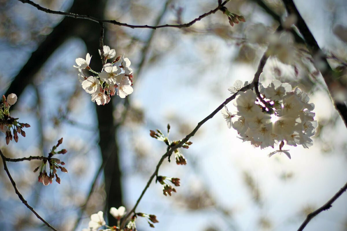 Blossoms of the Yoshino Cherry Trees are seen at the Tidal Basin in Washington DC during the National Cherry Blossom Festival.