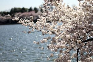 Cherry Blossoms of the Yoshino Cherry Tree bloom over the Tidal Basin in Washington DC during the National Cherry Blossom Festival.