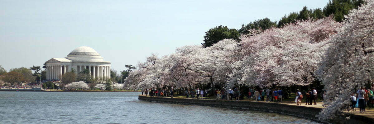 A panoramic photo of the Yoshino Cherry Trees blooming over the Tidal Basin in Washington DC during the National Cherry Blossom Festival with the Jefferson Memorial in the background