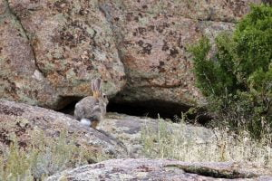 A white-tailed jackrabbit, also known as the prairie hare, is seen near some rocks at Split Rock, Wyoming.