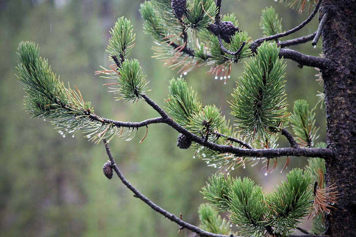 The branch of a pine tree with cones and green needles is seen in the rain at Grand Teton National Park in Wyoming.