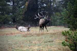 A bull elk bugling near three other elk in Yellowstone National Park in Wyoming.