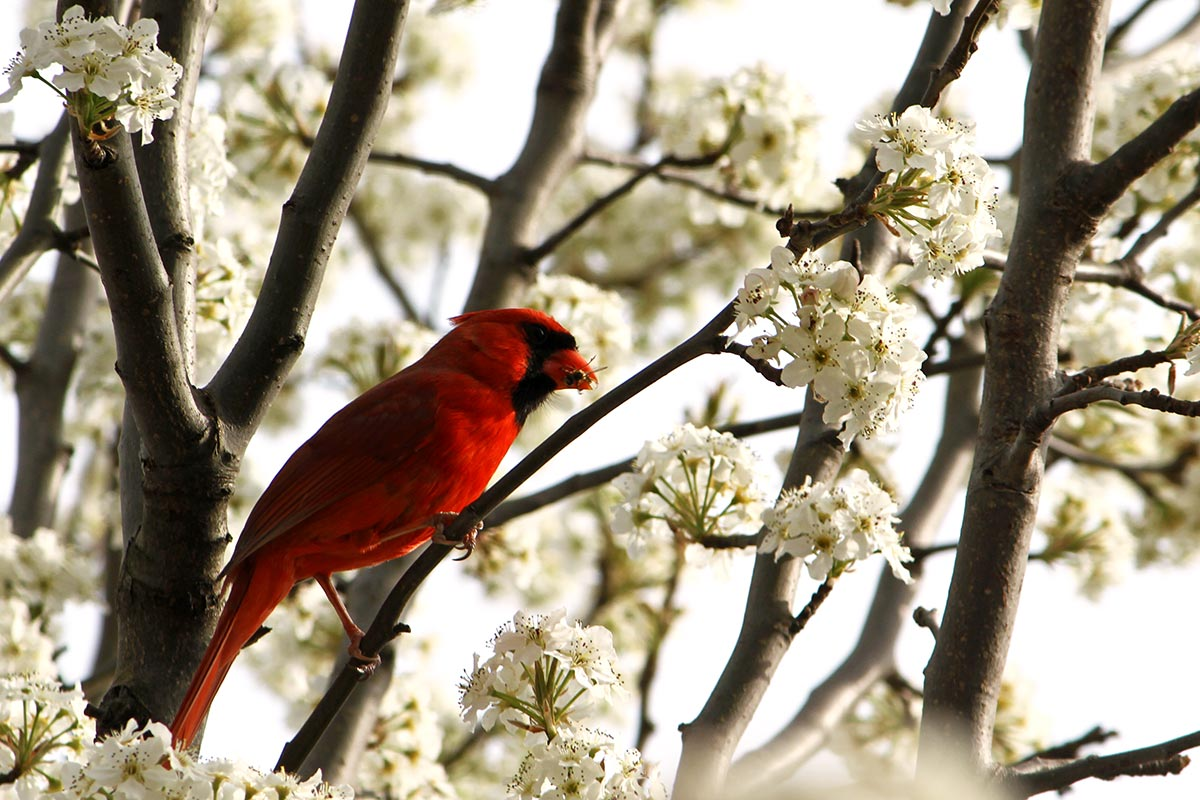 A red cardinal eats a bee after catching it among white tree blossoms.