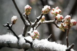 Tree buds appearing for spring are surprised by a March winter storm that blankets them in snow in Washington DC.