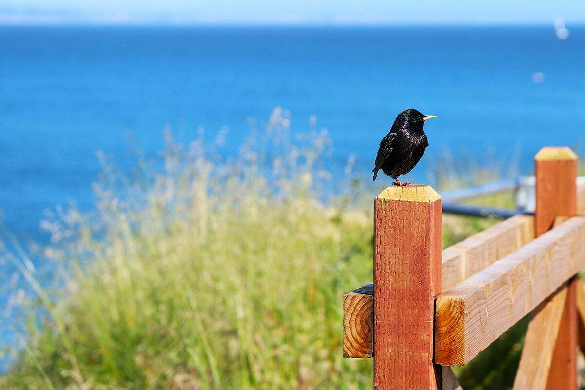 A black bird perches on one foot on a wooden fence overlooking the ocean in Santa Cruz, California.