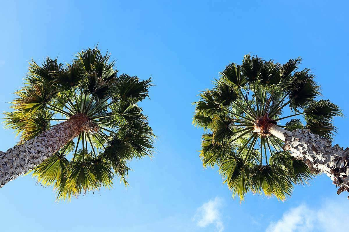 A view looking up two palm trees at the blue sky in Santa Cruz, California.