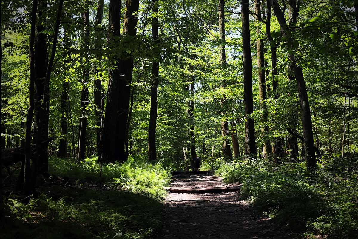 Green leaves and large trees are seen during a summer walk along the Appalachian Trail in Maryland.