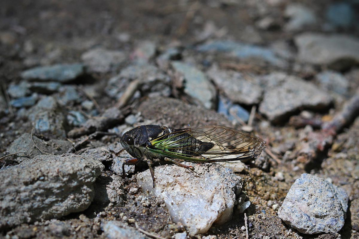 A close-up photo of a cicada among some rocks during a summer day along the Appalachian Trail in Maryland.