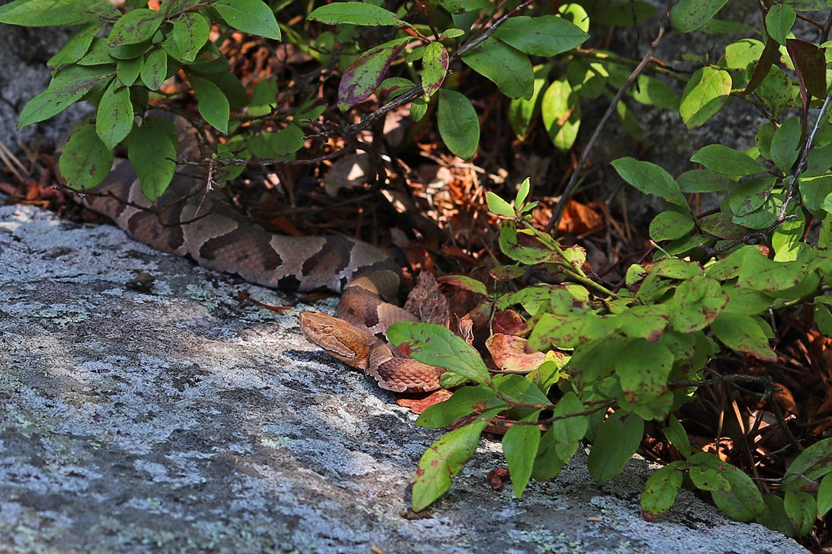 A copperhead snake seen among rocks and leaves along the Appalachian Trail in Maryland.