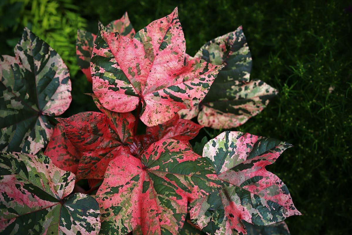 An Albe Red planet is seen with bright red, pink, green and white leaves. It is also known as a gossypium herbaceum or as a pink cotton planet.