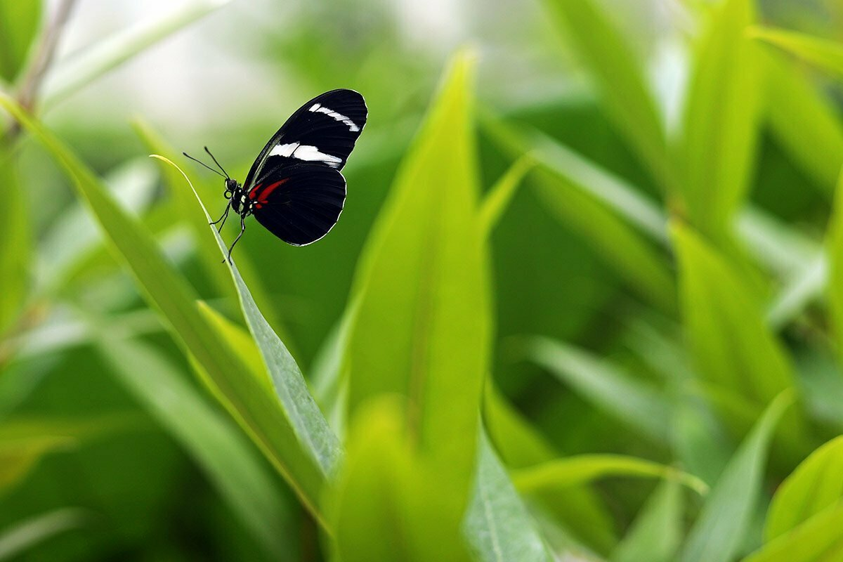 A black butterfly with a white band and red markings is seen among green plants at a butterfly pavilion in North Carolina.