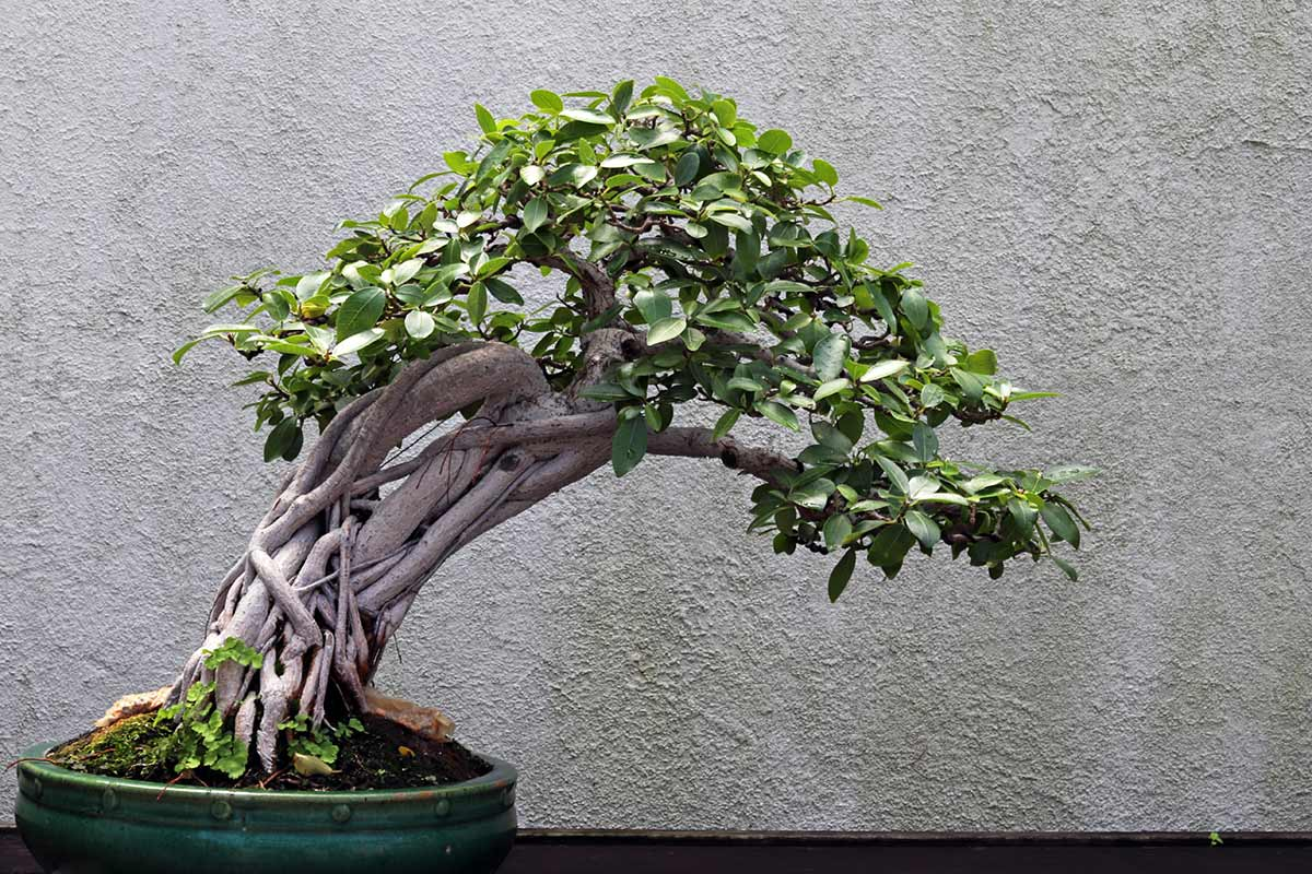 A Natal Fig Bonsai tree in training since 1976 seen at the National Arboretum in Washington DC. The scientific name of the plant is Ficus natalensis.