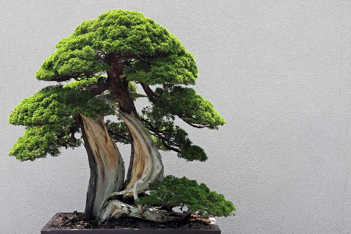 A Sargent Juniper Bonsai tree seen at the National Arboretum in Washington DC. The scientific name of the plant is Juniperus chinensis var. sargentii.