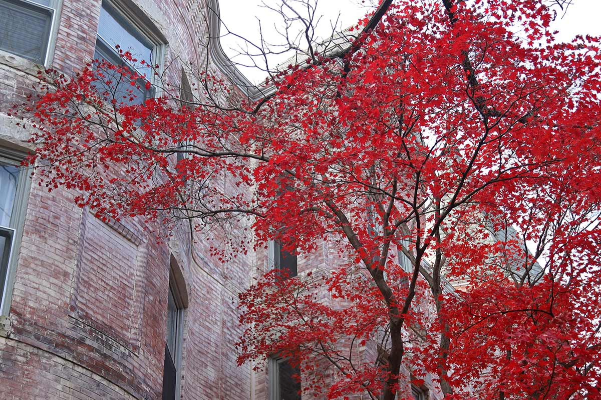 The bright red leaves of a Japanese Maple, also known as an acer palmatum, are seen on a fall day near a brick building.