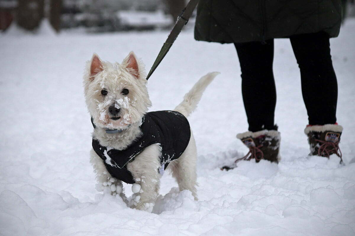 A happy West Highland White Terrier named Billie enjoys the snow in Kalorama Park in Washington DC.