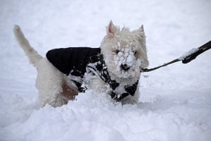 A West Highland White Terrier named Billie with his face covered in snow.