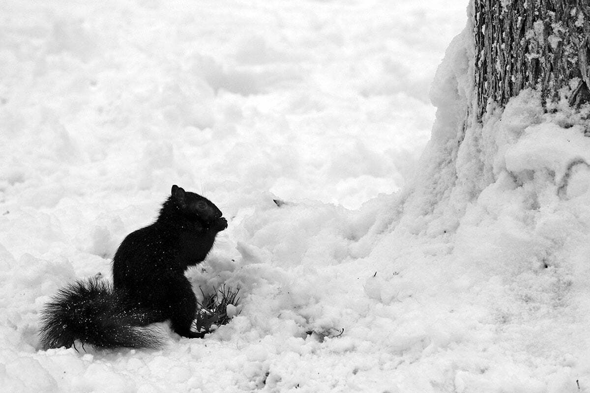 A black squirrel retrieves a snack in the snow near Kalorama Park in Washington DC.