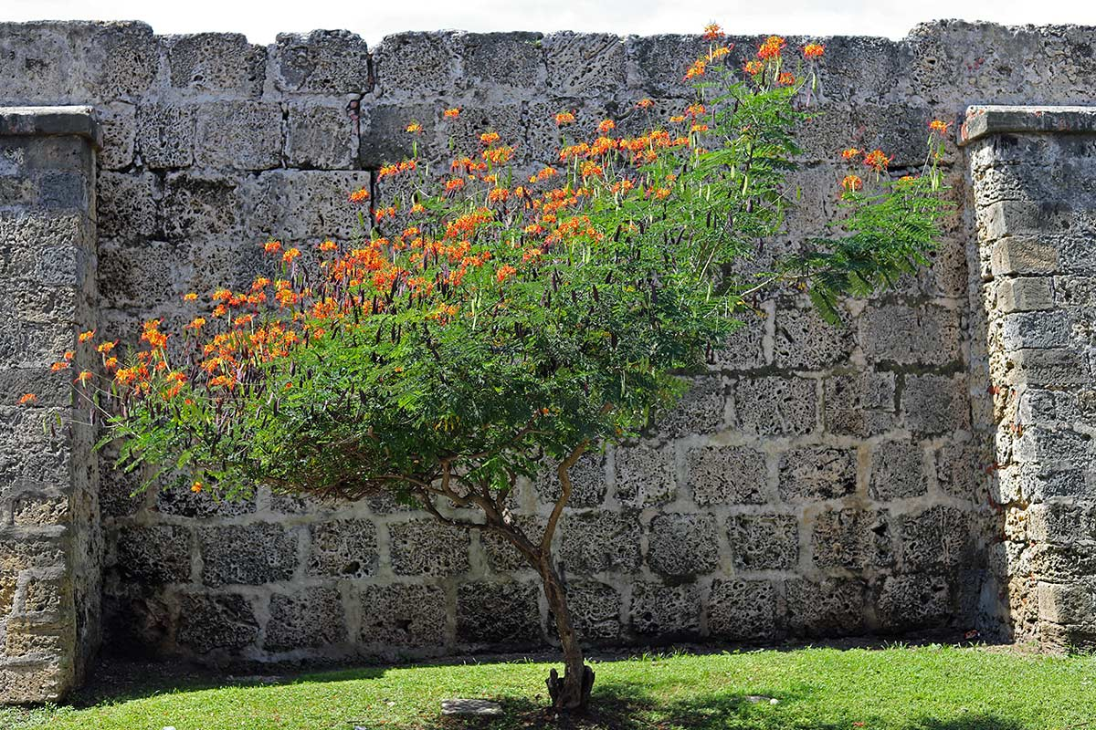 A Tamarind tree flowering with red and yellow blossoms is seen against an old wall in the Walled City of Cartagena, Colombia.