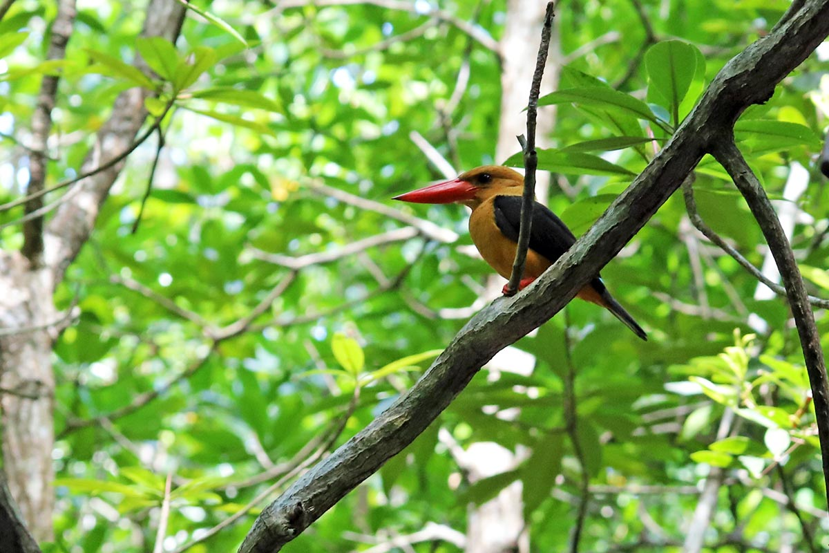 A brown-winged kingfisher, also known as pelargopsis amauroptera, is seen among the trees in Thailand.